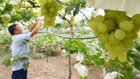 金秋十月市郊成大果园  当季晚熟水果令人垂涎
