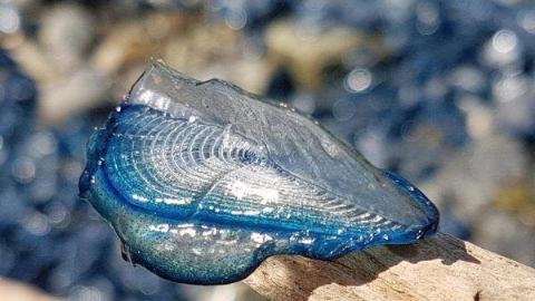 美爆了,蓝色海滩!等等,原来是数亿水母搁浅!