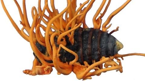 白吃了这么多年的冬虫夏草?上海科学家揭秘虫草素的生物合成机理