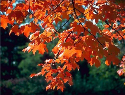 蒋洪说,秋天里,采几叶朱砂红的枫叶洗净,盐水浸泡一下铺在白色瓷盘上