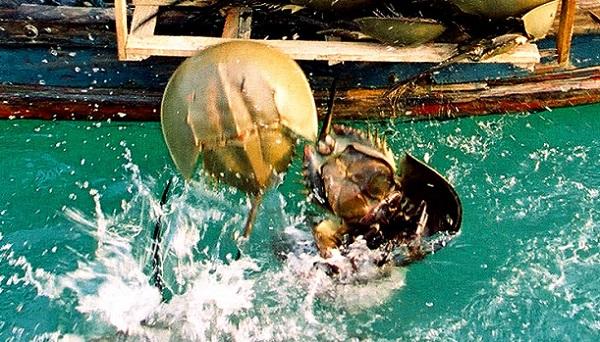 奉贤渔民意外捕获国家二级保护动物中华鲎!已被放归大海