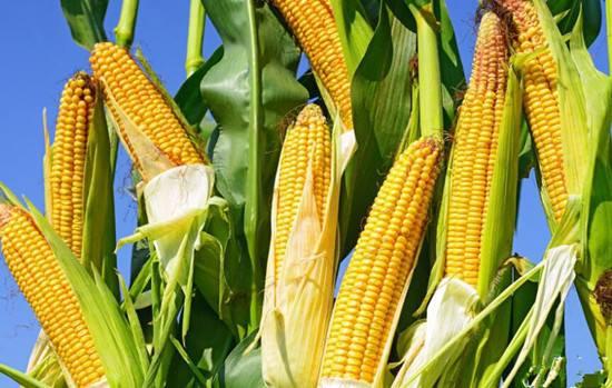 三生有幸,吃上这样的玉米