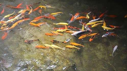 养鱼不为钓鱼,清污净水以鱼治河才是目的