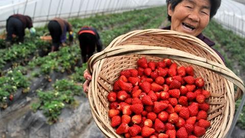 """田园美食节丨""""中国草莓之乡""""白鹤草莓本周甜蜜上市"""