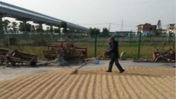 浦东第一片长粳香稻田收割上市