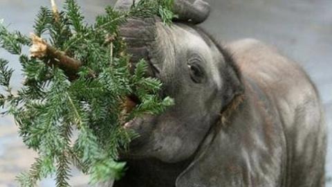 完成使命的圣诞树去哪儿了?送给大象当零食