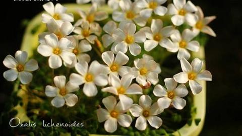 小巧可爱花色繁多  130种酢浆草集体亮相上海植物园