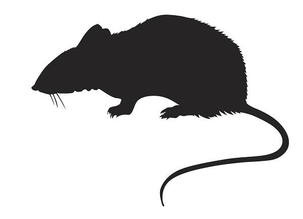 工地老城区等地鼠类易出没 上海开展集中灭鼠行动