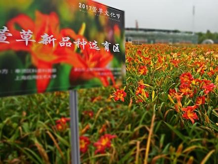 赏花草念亲恩,上海应用技术大学举办萱草文化节