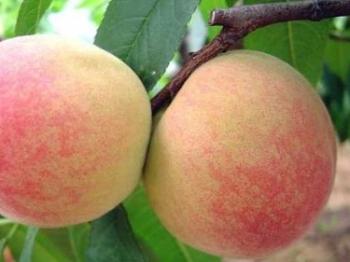 田头速报丨南汇水蜜桃进入最佳赏味期 品质优于去年价格微涨