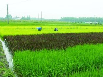 田头速报丨彩色水稻成熟啦!田间地头成美丽画卷