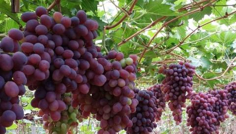 高温催葡萄更甜美,以后买意大利葡萄酒要看清2017年产