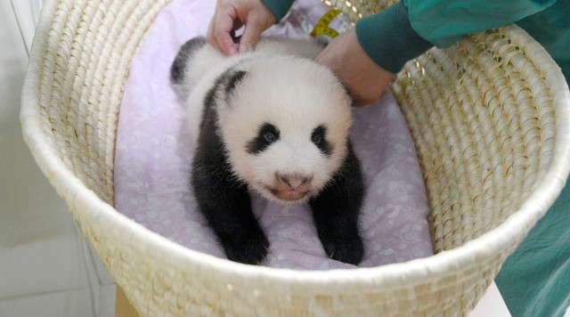 给熊猫宝宝起名日本人想了32万个 新一轮熊猫热将席卷日本