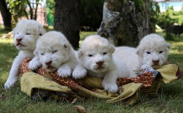 稀有小白狮镜头前卖萌 全世界仅300只左右