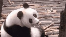 爱丁堡大熊猫又怀孕了!又双叒叕空欢喜!