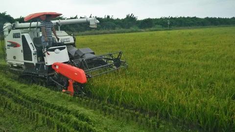田头速报丨上实东滩有机水稻开镰  国庆中秋双节可尝鲜新米