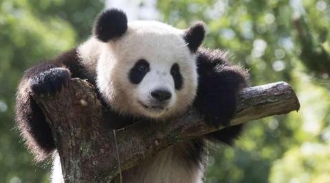 """大熊猫抵德半年 """"制霸""""动物园热榜"""