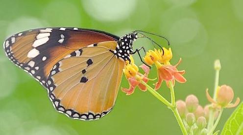 蝴蝶———自然笔记