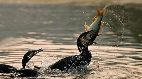 鱼鹰捉鱼———景视微言