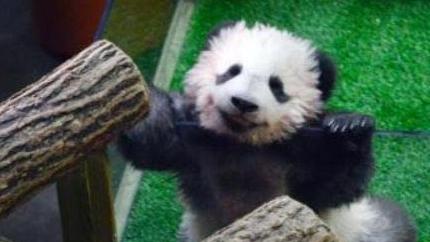 """大熊猫""""圆梦""""首次在法国公众前亮相,人气超乎想象"""