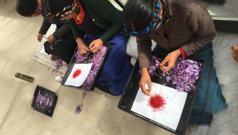 """藏红花从此真正姓""""藏"""":上海援藏助力江孜打造全国最大藏红花基地"""