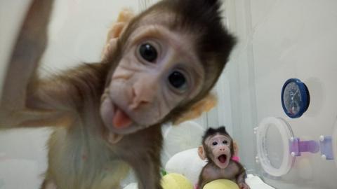 """克隆猴""""中中""""""""华华"""":我们诞生在中国!上海科学家攻克世界难题"""