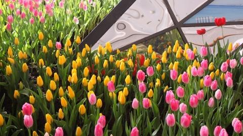 """乱了花期,撩了人心!中外""""迎春""""名花展将登陆辰山植物园"""