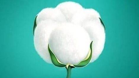 母亲说:做人就要像这开足的棉花,清清白白