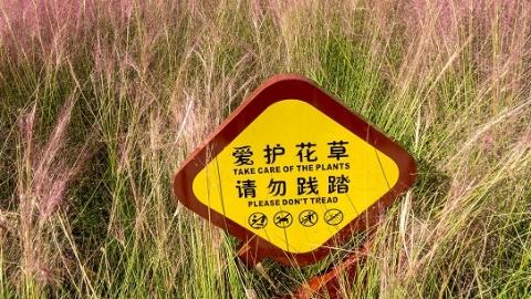 心疼!继杭州后,上海滨江东岸粉黛乱子草也遭游客踩踩踩