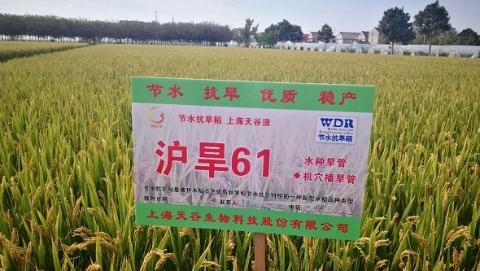 """上海节水抗旱稻""""沪旱61"""":节水50%,节肥20%"""