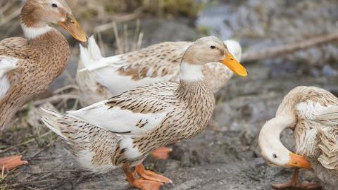 臭气熏天!松江绿洲长岛小区景观河上有业主搭鸭棚