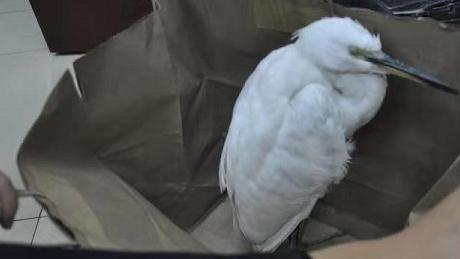 """学校惊现受伤""""大鸟"""" 原是保护动物白鹭"""