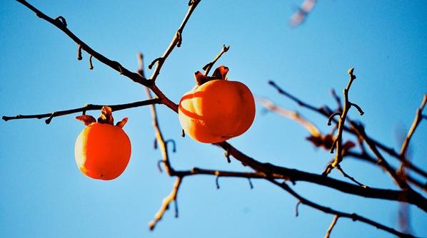 凌霜侯,好霸气的名字,它是柿子