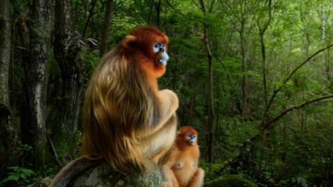 它们的素颜照圈粉全球,中国金丝猴成最大赢家