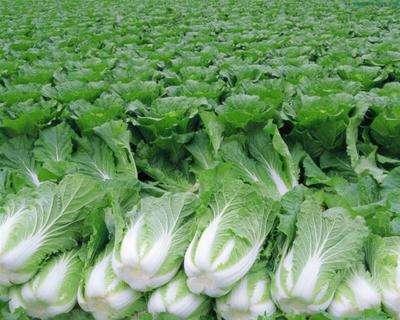 十日谈 | 东北大白菜,谁吃谁知道