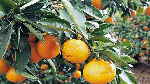 2吨松茸的回礼  韩国回送200吨柑橘给朝鲜