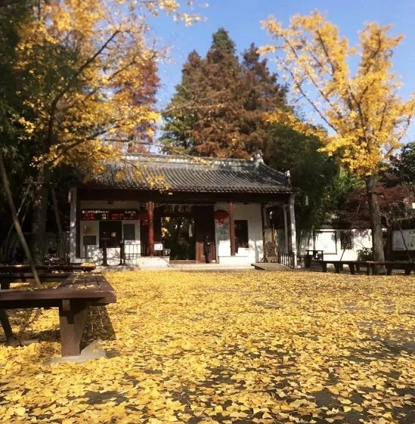 正文  浏岛自然风景区中,分布着众多大大小小的银杏树,还有水杉林以及