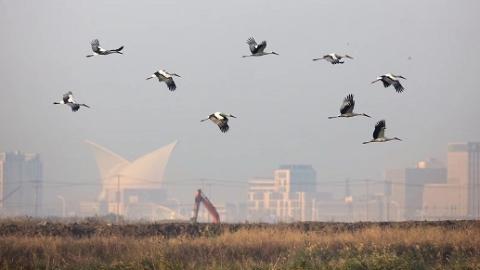 20只东方白鹳现身南汇东滩 申城史上最多 全球仅有2500只