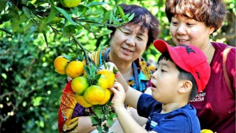 上海柑橘产业转型升级 邀市民品尝来自沪郊的甘甜