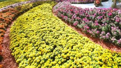 全国菊花盛会明年10月在上海举办 主会场就在共青森林公园