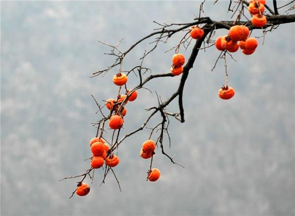 七夕会雅玩 | 留几个柿子看树