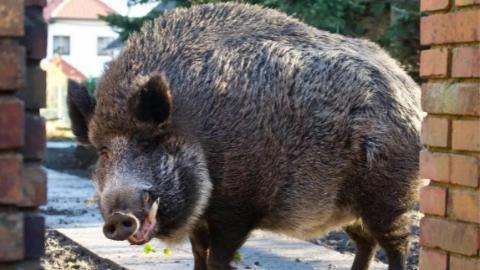 """食物短缺,野猪闯进德国小镇""""闲逛"""""""