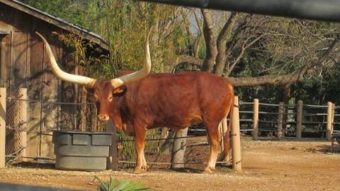 """1.4吨!澳大利亚这头公牛因太胖成""""网红"""""""
