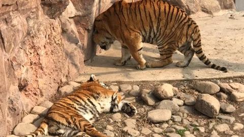 和平公园动物岛新年添丁 两只幼年东北虎等市民起名