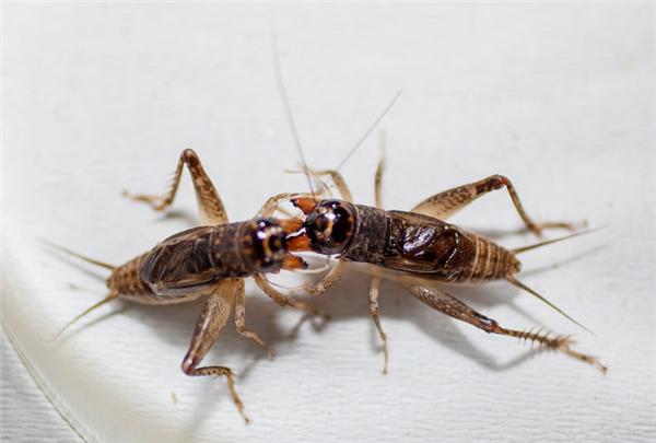 10只蟋蟀突破寿命极限,但这真是它们想要的吗?
