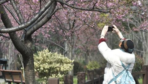 上海樱花节下周开启!顾村公园1.2万余株樱花迎客,品种数量上海之最