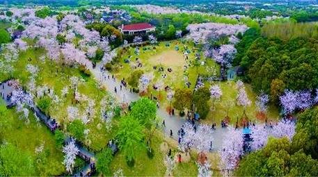 2018上海樱花节3月16日开幕!送上最全赏樱攻略