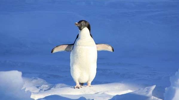 南极绅士初长成