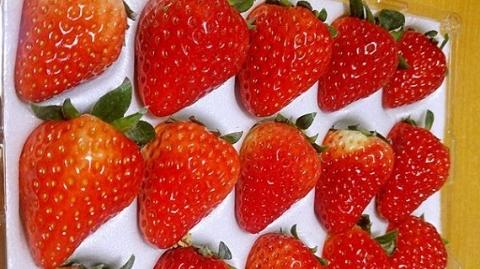 """草莓地里""""穿西装""""也能干活!上海交大的草莓""""颜好学历高"""""""
