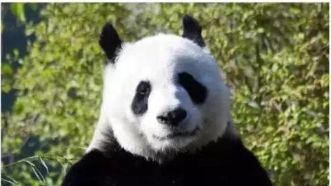 """苦等6年,爱丁堡的熊猫还是没怀上,英国人决定装修它们的""""豪宅"""""""